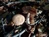 Champignonagtig Slørhat (Cortinarius torvus)
