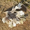 Bredt Bladmosdyr (Flustra foliacea)
