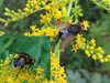 Gylden Pragtsnylteflue (Phasia aurigera)