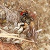 Thecophora sp. (Thecophora sp.)
