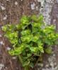 Gaffel-Vortemælk (Euphorbia peplus)