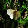 Hvidgrå Blåbærmåler (Cepphis advenaria)