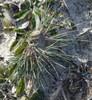 Foto/billede af Græsfamilien - Poaceae