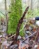 Druebregne (Onoclea sensibilis)