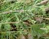 Hvid Snerre (Galium mollugo)