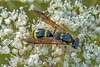 Symmorphus gracilis (Symmorphus gracilis)