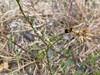 sandstar-brand (Anthracoidea arenariae)