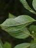 Microsphaera divaricata (Microsphaera divaricata)