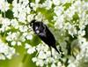 Mordella aculeata (Mordella aculeata)