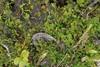 Smalfliget Ribbeløs (Riccardia chamedryfolia)
