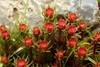Hårspidset Jomfruhår (Polytrichum piliferum)