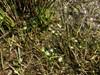 Vandnavle (Hydrocotyle vulgaris)
