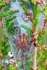 Almindelig Pighånd (Cheiracanthium erraticum)