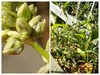 Persicaria lapathifolia (Persicaria lapathifolia)