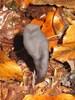 Foto/billede af Kernesvampe - Sordariomycetes