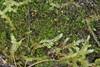 Tvespidset Kantbæger (Cephalozia bicuspidata)