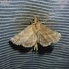 Palpetandspinder (Pterostoma palpina)