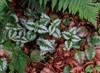 Guldnælde (Lamiastrum galeobdolon)