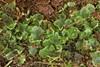 Foto/billede af Blasiaceae - Blasiaceae