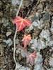 Foto/billede af Vedbendfamilien - Araliaceae