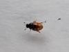 Dværglandkær (Cercyon pygmaeus)