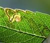 Mørkt Rønnedværgmøl (Stigmella nylandriella)