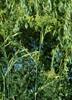 Dild (Anethum graveolens)