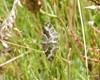Sørgesnerremåler (Epirrhoe tristata)