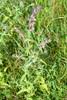 Tidlig Rødtop (Odontites vernus )