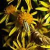 Toplettet Blomstertæge (Stenotus binotatus)