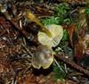 Orangeægget Huesvamp (Mycena aurantiomarginata)