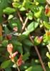 Tranebær-Bøllesyge (Exobasidium rostrupii)