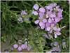Baltisk Strandsennep (Cakile maritima ssp. baltica)