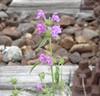 Smalbladet Hanekro (Galeopsis angustifolia)