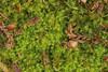 Grønkornet Foldbæger (Lophozia ventricosa)