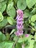 Krans-Salvie (Salvia verticillata)