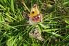 Lille Natpåfugleøje (Saturnia pavonia)
