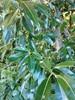 Glans-Pil (Salix fragilis x pentandra)