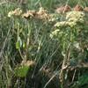 Sankthansurt s.l. (Hylotelephium telephium s.l.)