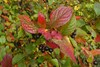 Cotoneaster moupinensis (Cotoneaster moupinensis)