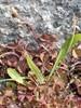Foto/billede af Surkløverfamilien - Oxalidaceae