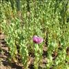 Foto/billede af Valmuefamilien - Papaveraceae