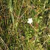 Foto/billede af Leverurtfamilien - Parnassiaceae