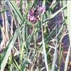 Foto/billede af Brudelysfamilien - Butomaceae