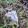 Junimørkvingemåler (Scotopteryx mucronata)