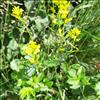 Udspærret Vinterkarse (Barbarea vulgaris var. arcuata)