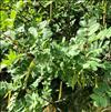 Sibirisk Ærtebusk (Caragana arborescens)