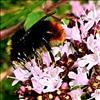 Græshumle (Bombus ruderarius)