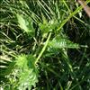 Sump-Nælde (Urtica kioviensis)