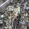 Fliget Bægerlav (Cladonia foliacea)